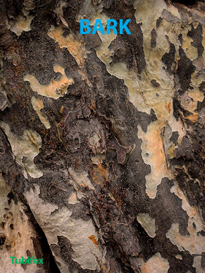 "bark of Parrotia persica, a ""spotlight"" plant in the Keim Courtyard"