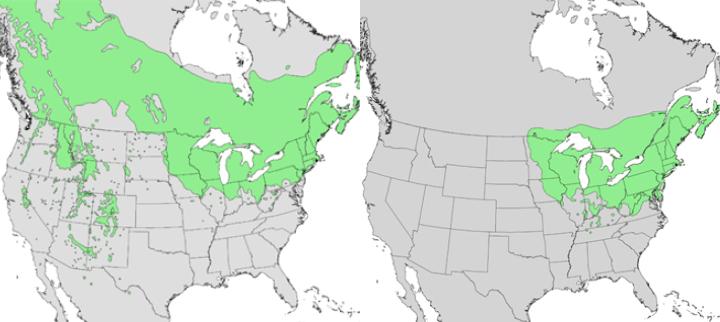 Populus X Smithii Unl Gardens University Of Nebraskalincoln Map Of Populus Tremuloides Us