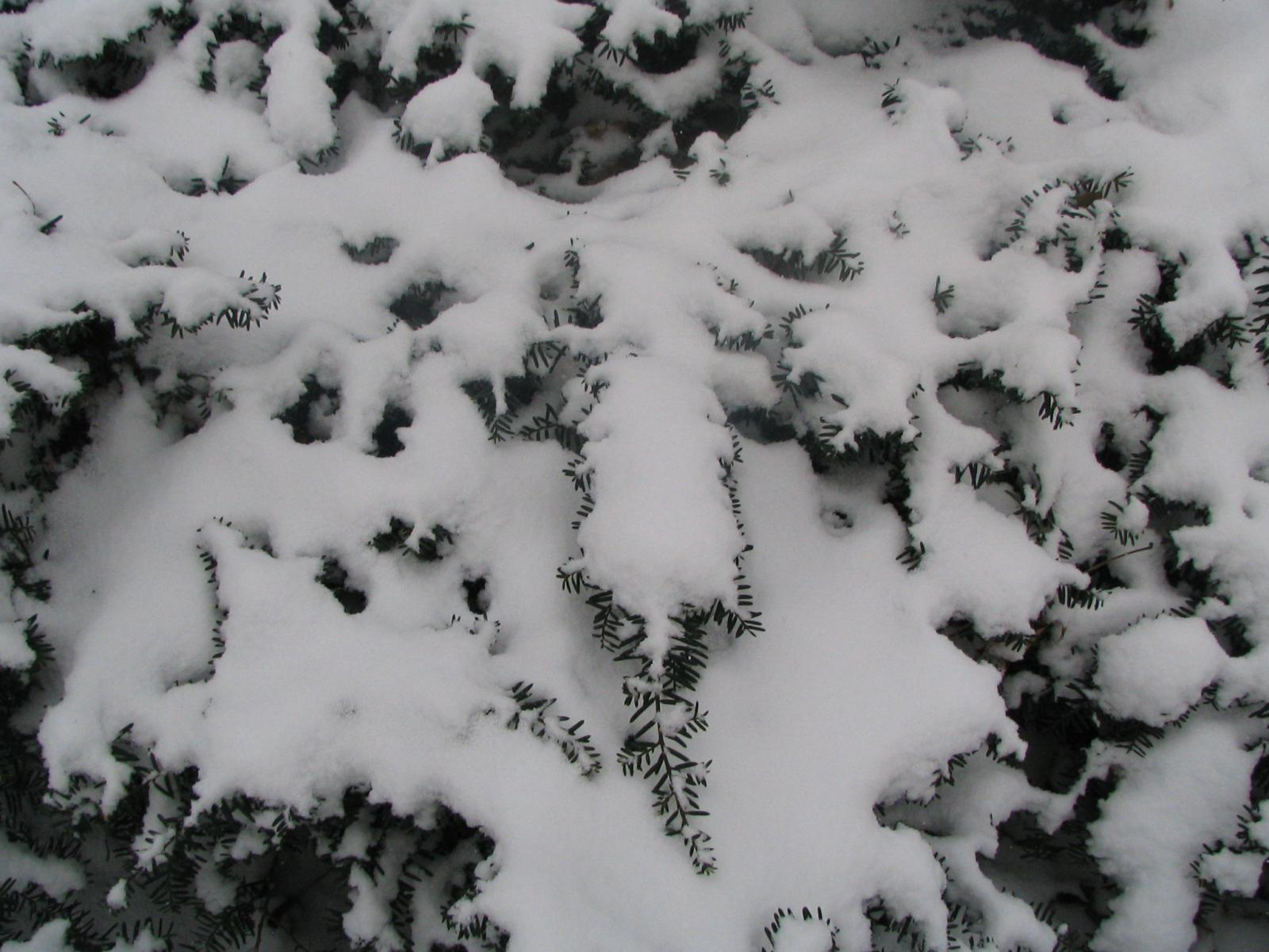 taxus in snow