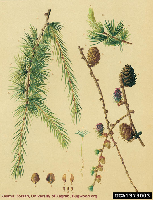 Larch Botanical Illustration