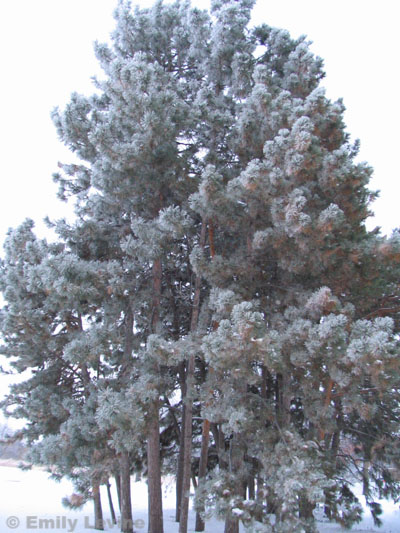 pinus in snow