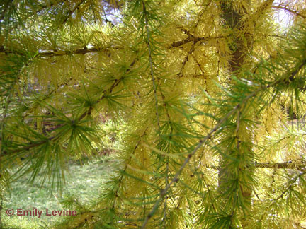 larch fall foliage