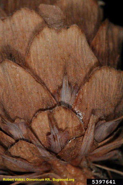 Larch cone close up
