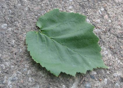 Corylus colurna Turkish Filbert