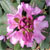 Lees dark purple rhodie