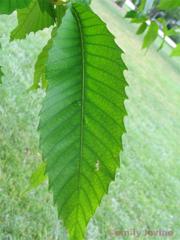 Castanea dentata leaf